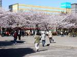 Sakuramaturi31